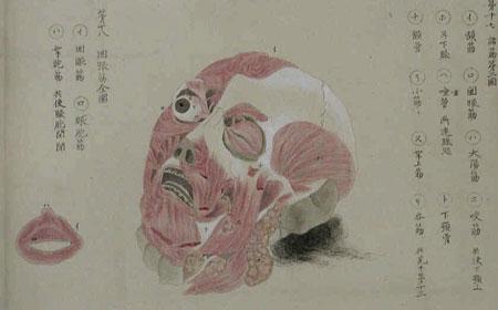 estampe anatomie