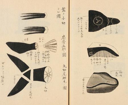 anatomie d'une baleine